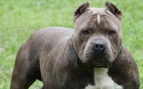 american pitbull terrier dog price 5 reasons to buy your american pit bull terrier from a registered