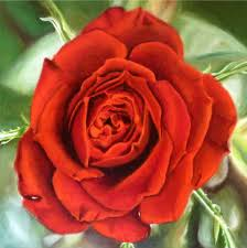 rose theme alpha 3 the sketchy reader art
