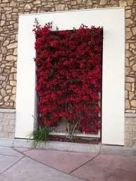 bougainville trellis the color is incredible in person garden