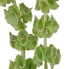 bells of ireland flower of ireland molucella greenery