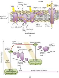 Where Do The Light Independent Reactions Occur 8 6 Photosynthesis And The Importance Of Light Biology Libretexts