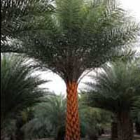 sylvester date palm tree magnolia landscape reference palm trees