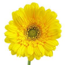 gerbera daisies gerbera daisies biscuit yellow