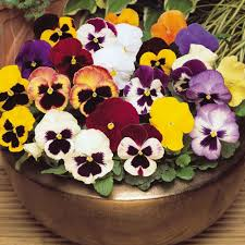 pansy super winter spring mixed maxi plugs