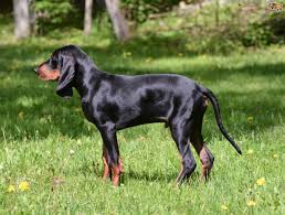 bluetick coonhound price coonhound dog breed information buying advice photos and facts