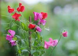 sweet peas flowers sweet peas how to plant grow and care for sweet pea flowers