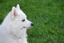 american eskimo dog japanese spitz difference samoyed vs american eskimo pictures images and stock photos istock