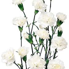 wholesale carnations mini carnations white wholesale carnations theflowerexchange