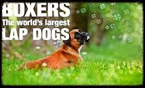 boxer dog in heaven boxer heaven kennel