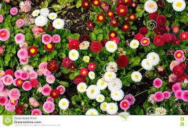 multi color daisy flowers in spring flowers stock photo image