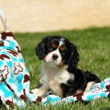 american eskimo dog price in kolkata cavalier king charles spaniel puppies for sale greenfield puppies