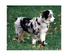 australian shepherd eye color genetics normal aussie coat coloring australian shepherd health