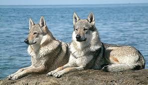 imagenes sorprendentes de lobos extraños cruces los 10 animales híbridos más sorprendentes fotos
