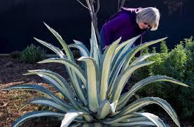 sacramento native plants 40 new favorite plants for water wise sacramento area landscapes