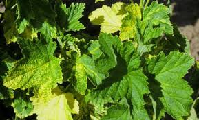 Symptoms Of Viral Diseases In Plants - dagger nematodes xiphinema spp