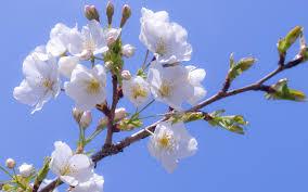 cherry sakura white white flower bloom petals branch spring sky