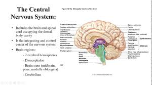 Anatomy And Physiology Nervous System Study Guide Anatomy And Physiology Of Central Nervous System At Best Way To