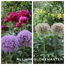 another reason to ornamental alliums seed heads and seeds