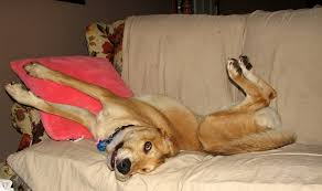 Why Do Dogs Lick The Sofa 19 Awkward Dogs Losing The Battle With Human Furniture