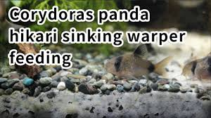 hikari sinking wafers review corydoras panda hikari sinking wafers feeding youtube