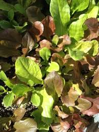 Organic Kitchen Tucson - growing lettuces or root vegetables large tubs from your local