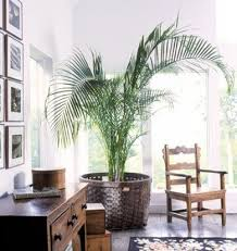 living room trees how to keep your indoor plants alive google images google and