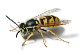 Small Black Flying Bugs In Bathroom How To Kill A Wasp Indoors A Guide For The Weak The Toast