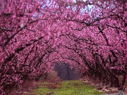 decorative trees for home one of the most beautiful of early spring blooming ornamental