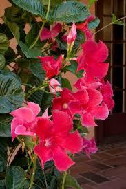 crimson jewel mandevilla monrovia crimson jewel mandevilla