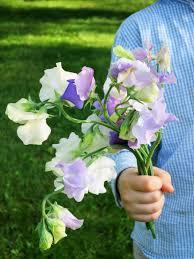 sweet pea flowers in the fields sweet pea flowers