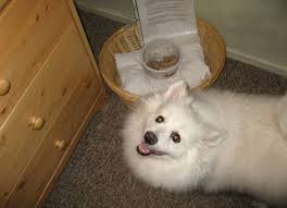 american eskimo dog growling casper d dog hi my name is casper i am a mini american eskimo