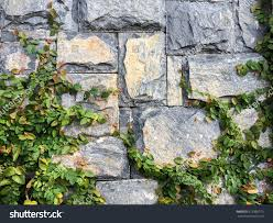 climbing fig creeping fig creeping rubber stock photo 512960773