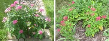 Pentas Flower Ice Flowers Frost Flowers Ice Segregation In Plant Stems