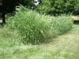corn lookalike weed ask an expert
