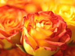 orange roses circus