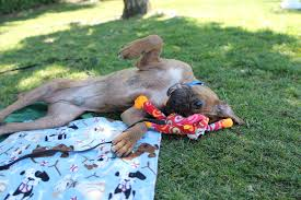 feeding a boxer dog articles west coast boxer rescue seeking forever homes for