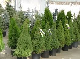 evergreens out sell cut trees