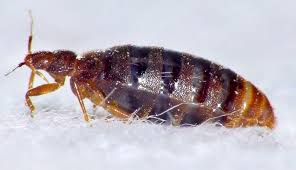 I Found A Bed Bug Now What Chemical Resistant Bed Bugs Triple In Number Across The Uk