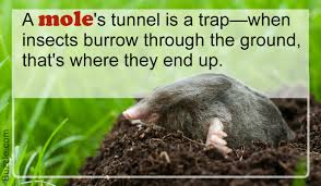Moles Blind What Do Moles Eat You Could Never Have Imagined This