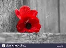 red poppy flowers for remembrance day lest we forget stock photo