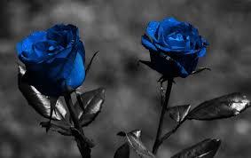 Flower Pictures Beautiful Black Rose Wallpaper
