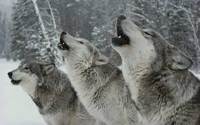 we learn more about our language by listening to the wolves aeon