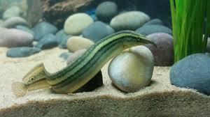 Seeking Eel Hello Everyone Meet Eel Harris Aquariums