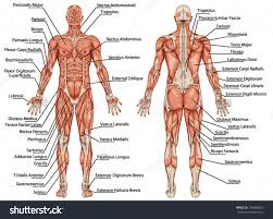 Anatomy And Physiology The Muscular System Muscular System Major Structures 1 2 Structural Organization Of