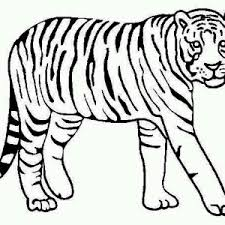 a nice sketch of white tiger cub coloring page a nice sketch of