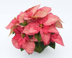 poinsettia crop information