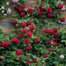 Climbing Plants On Trellis Climbing Roses Grow Climber Rose Plants On Trellises Walls Or
