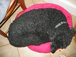 Doggy Beds Doggy Bed Wars Poodle Forum Standard Poodle Toy Poodle