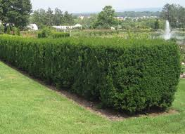 wax myrtle trees wax myrtles for sale fast growing trees