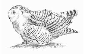 snowy owl behavior birds of north america online